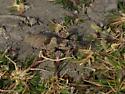 Winged grasshopper - Trimerotropis pallidipennis - female