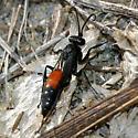 spider wasp - Anoplius semirufus - female