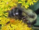 Small Bumblebee - Bombus impatiens
