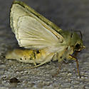 Greenish moth - Chloridea virescens
