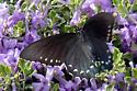 Pipevine Swallowtail - Battus philenor - female