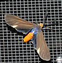Attracted to UV light - Dahana atripennis - male
