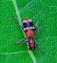 checkered beetle Enoclerus nigripes? - Enoclerus