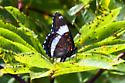 Buttefly sp 070611 - Limenitis arthemis
