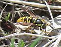 Prairie Yellowjacket - Vespula atropilosa - female