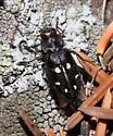 - - Phaenops drummondi