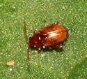 Beetle - Glyptina