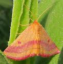 Chickweed Geometer - Haematopis grataria - female