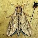 Plebeian sphinx - Hodges #7793 - Paratrea plebeja