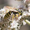 Philanthus multimaculatus - Philanthus crabroniformis - male