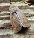 Moth C - Ulolonche culea