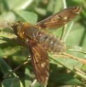 Bombylidae? - Poecilanthrax alcyon