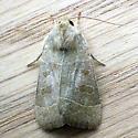 Even-Lined Sallow (Ipimorpha pleonectusa) - Ipimorpha pleonectusa