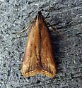 Dichomeris heriguronis - Black-edged Dichomeris - Hodges#2309 - Dichomeris heriguronis