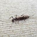 small winter stonefly