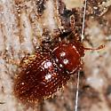 Rotting tree dweller 22 (beetle) - Mycetaea subterranea