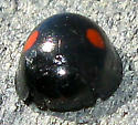 Lady Beetle - Chilocorus stigma
