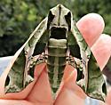 Pandora Sphinx Moth - Eumorpha pandorus