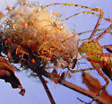 Green Lynx Spider and Brewd - Peucetia viridans - female