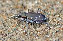 Twelve-spotted Tiger Beetle in Kouchibouguac National Park - Cicindela duodecimguttata
