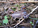 California Forest Scorpion - Uroctonus mordax