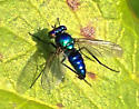 Blue long-legged fly - Condylostylus mundus