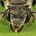 bee - Sphecodes davisii - female