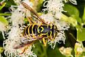 Syrphid - Spilomyia crandalli