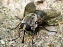 Horsefly - Stonemyia rasa - female