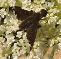 Bombyliidae - Hemipenthes sinuosa