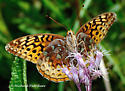 Dull or worn Great Spangled Fritillary? - Speyeria cybele
