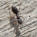 Tiny Ant With Yellow Legs - Tapinoma sessile