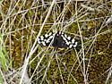 unknown moth? - Arctia virginalis
