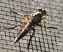 Robberfly on window screen - female