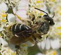 Bees on yarrow - Andrena