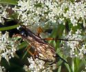 Ichneumon Wasps ? - Pimpla pedalis - female