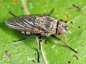 Cluster Fly - Pollenia rudis - female