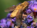 Bee Fly - Chrysanthrax cypris - female