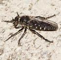 Robber fly -- Laphystiinae?