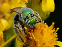 Agapostemon probably on Senecio - Agapostemon