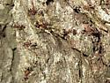 Fancy ants: another colony - Liometopum occidentale