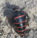 Large bodied desert crawler - Megetra