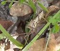 Unknown Stinkbug - Acanthocephala declivis