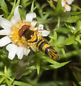 Narrow-lined hover fly - Allograpta obliqua