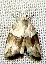 Moth - Afrida sp