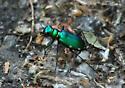 Six-spotted Tiger Beetle? - Cicindela sexguttata