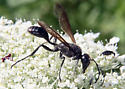 Grass-carryingWasp(Isodontia)? - Isodontia mexicana