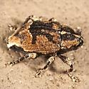 Unknown Beetle - Cophes fallax