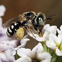 Mining Bee (Andrenidae) - Calliopsis - female