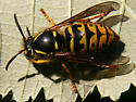 Common Aerial Yellowjacket - Dolichovespula arenaria - female